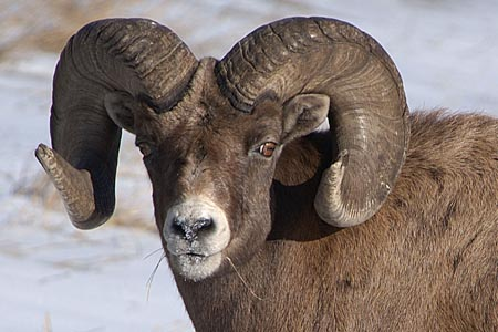 Bighorn Sheep (Photo: David Gummer)