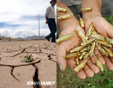 Locusts in Tibet