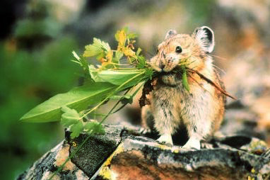 American Pika (Photo: Afarensis)