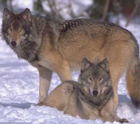 Threatened Wolves (US Fish & Wildlife Service)
