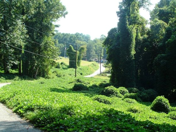 "Kudzu - ""The Vine That Ate the South"""